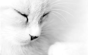 Cats, wool, white