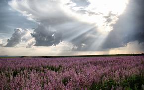 молдова, лаванда, поле