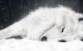 blanc, dessin, loup