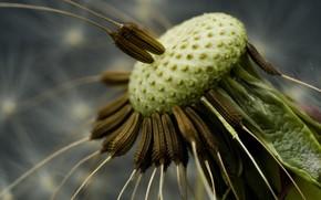 dandelion, seeds