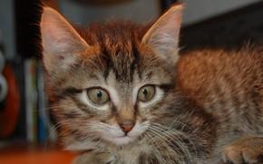 кошка, взгляд, усы