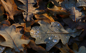 leaves, oak, autumn, dew