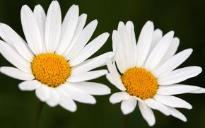 Flores, antecedentes, hermoso fondo de pantalla para tu escritorio, Fotos, Macro, Margaritas, Margaritas