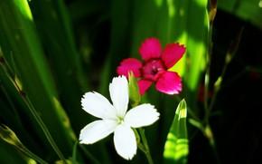 цветы, белый, лиловый