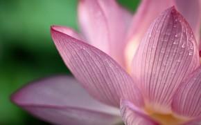 fiore, gocce, Petali
