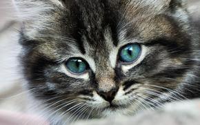 котенок, пушистый, фон, обои