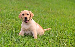 щенок, пёс, лабрадор, малыш, трава, сочная, зелень, язык