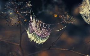 паутина, роса, сухоцветы, зонтик, капли