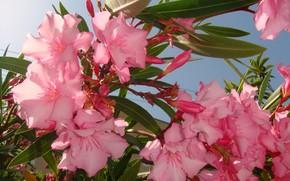 pink, tender, Flowers