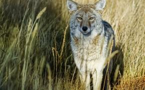 herbe, loup, voir