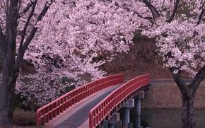 Japo, sakura, ponte