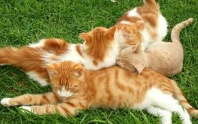 кошаки, рыжий, трава