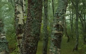 foresta, Betulla, muschio, alberi