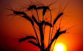 колосья, закат, солнце