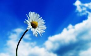 kwiat, rumianek, niebo