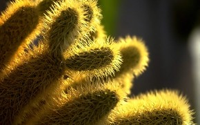 Needles, cactus, plant