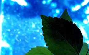 rolina, zielenina, lista, niebieski
