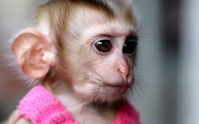 scimmia, vestire, rosa