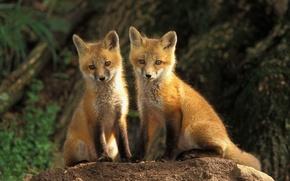 animals, fox