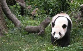 Tiere, Panda