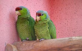 family, Parrots