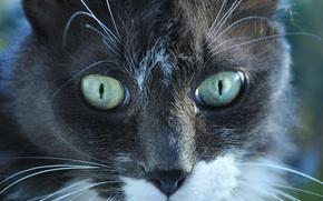 животные, кошки, кот, кошка, глаза
