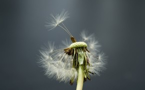 flower, dandelion, wind