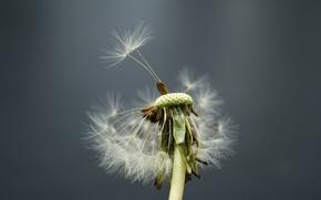 vento, dandelion, flor