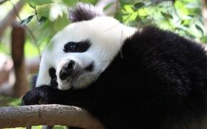 熊猫, 悲哀, 悲哀, 很好, 支, 离开