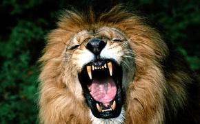 животные, лев, царь зверей, рычит