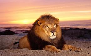 животные, лев, царь зверей