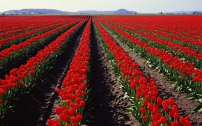 panorama, field, tulips