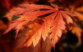 осень, лист, красный, маросъемка