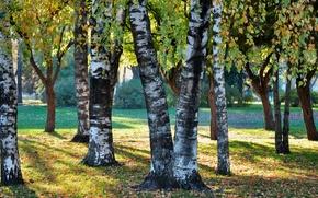 natura, Betulla, autunno