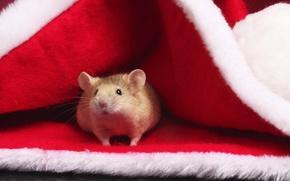 mouse, bello