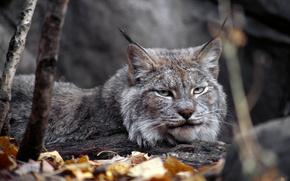 канада, рысь, хищник, животное, зверь, осень