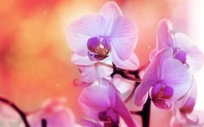 орхидея, розовый