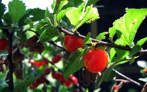 summer, cherry