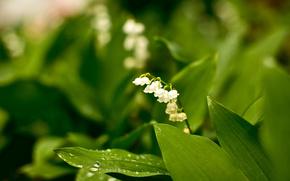 цветы, зелёный, белый, растения, природа, фото, красота, лес, сад, парк