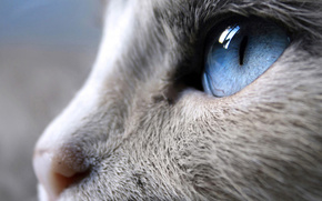 cat, cat, eye, blue