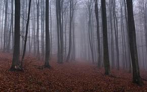 лес, деревья, листья, туман