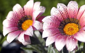 Flowers, dew, drops, droplets, prroda
