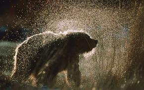 oso pardo, tener, spray