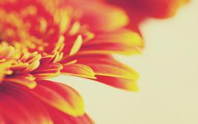 цветок, оранжевый, макросъемка