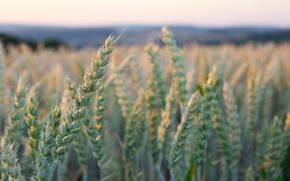 колос, пшеница, макросъемка