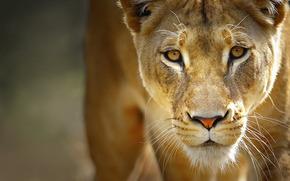 leone, leonessa, grugno, occhi, baffi, predatore