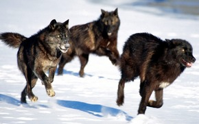 pack, Wolves, black