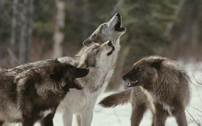 pack, Wolves, howl