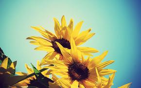 girasole, Girasoli, fiori, giallo, cielo, Blu, estate