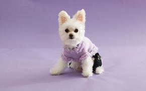 perro, perro blanco en la ropa, gracioso